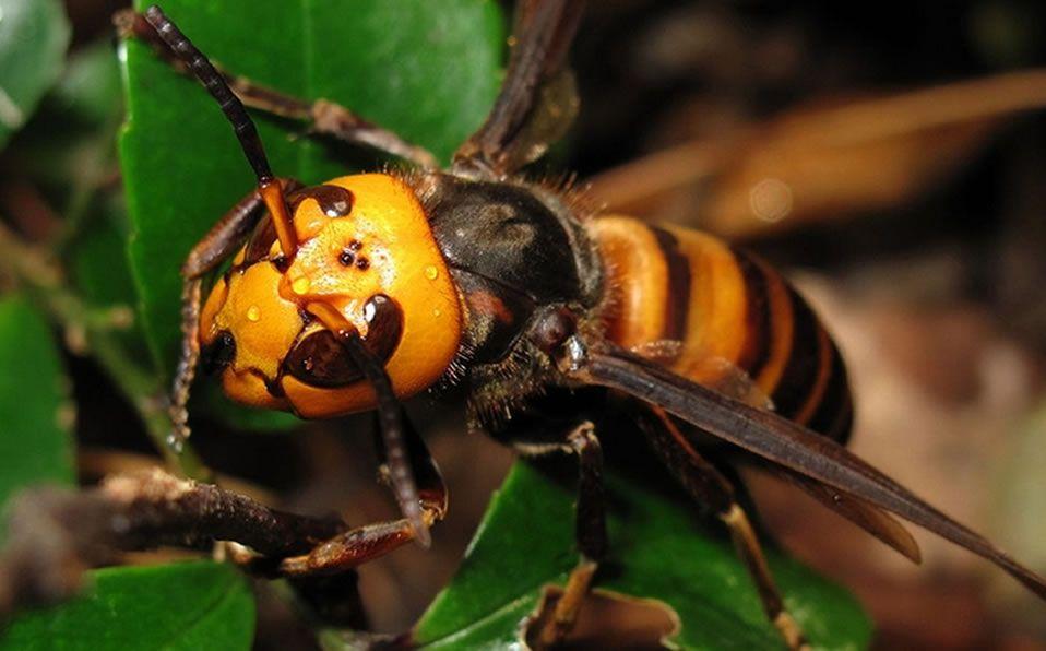 Hay insectos que pican y que representa una amenaza para las personas, incluso si no son alérgicos a las picaduras de abeja